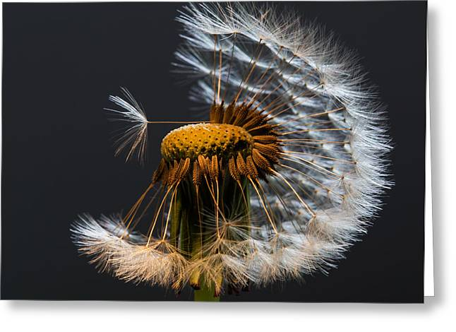 Wishes Greeting Cards - Dandelion Wishes Greeting Card by Angie Vogel