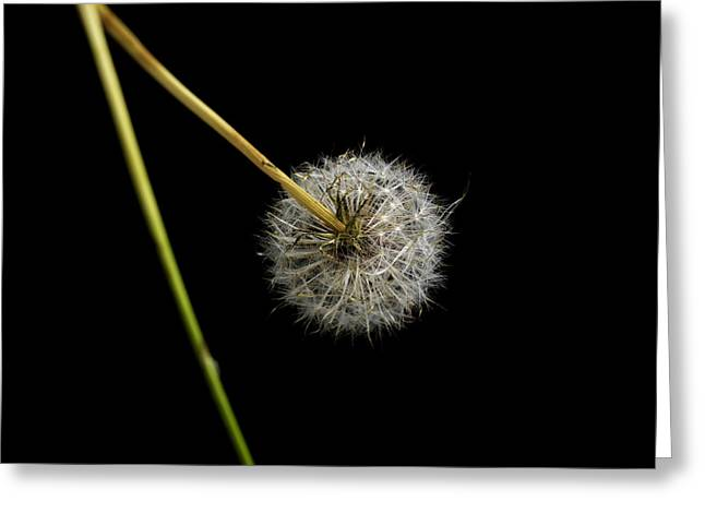 Part Of Greeting Cards - Dandelion with broken stem. Greeting Card by Bernard Jaubert