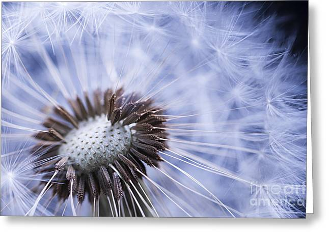Dandelion With Seeds Greeting Card by Elena Elisseeva