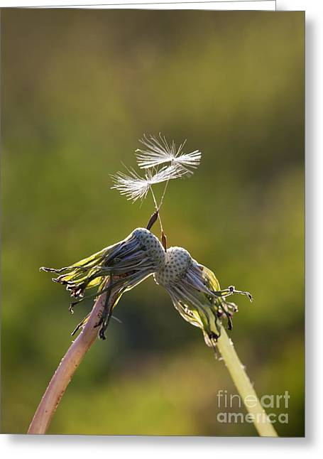 United Together Greeting Cards - Dandelions Kiss Each With Their Last Seed Greeting Card by Brandon Alms