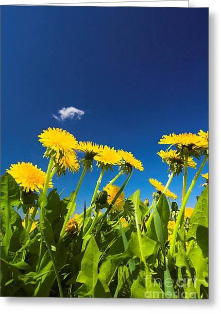 Ble Sky Greeting Cards - Dandelions Greeting Card by Michal Bednarek