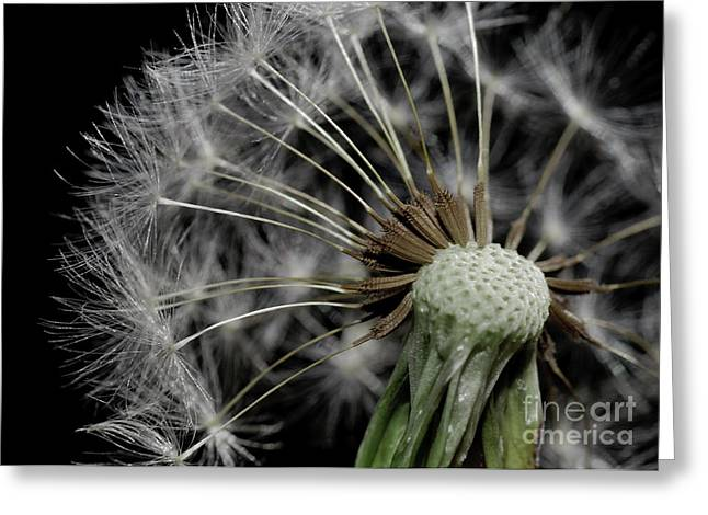 Dandilion Greeting Cards - Dandilion Greeting Card by Matthew Trudeau