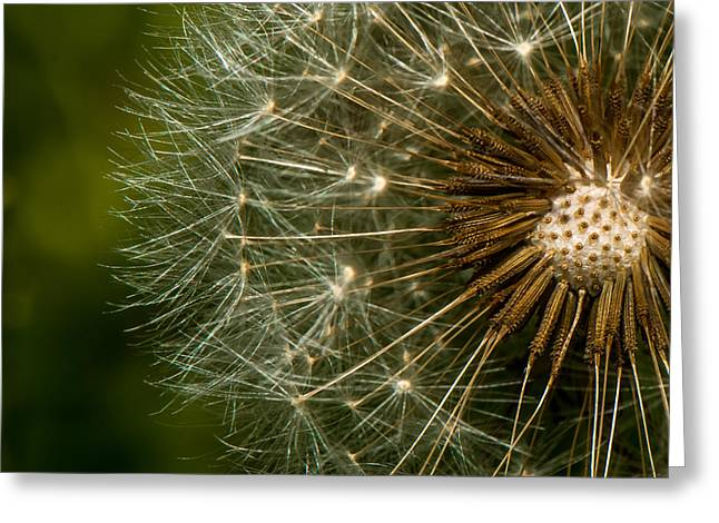 Dandilion Greeting Cards - Dandilion Greeting Card by Paul Freidlund