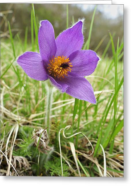 Pasqueflower Greeting Cards - Danes Blood Flower Switzerland Greeting Card by Thomas Marent