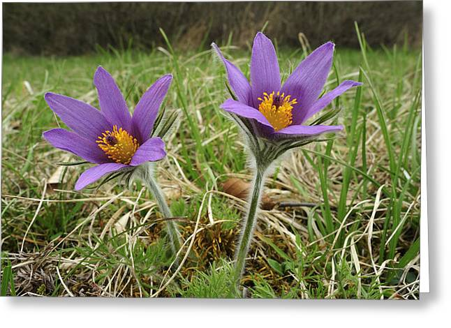 Pasqueflower Greeting Cards - Danes Blood Flowers Switzerland Greeting Card by Thomas Marent