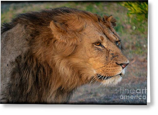 Lioness Greeting Cards - Dangerous Lion Greeting Card by Gary Keesler
