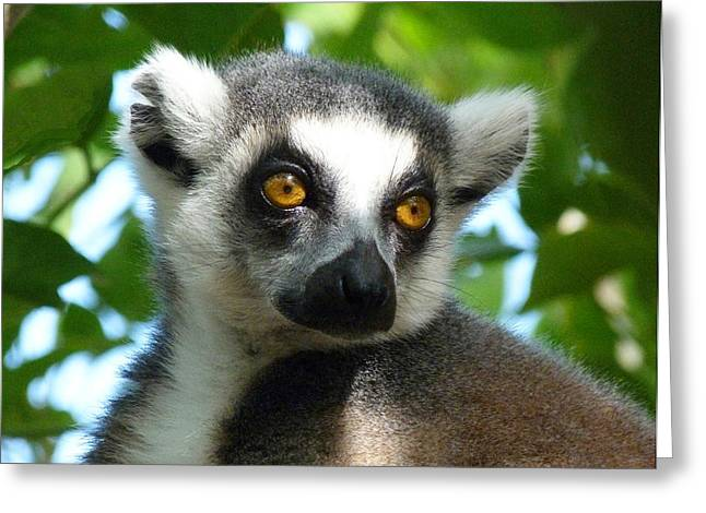 Dappled Light Greeting Cards - Dappled Light Lemur Greeting Card by Margaret Saheed