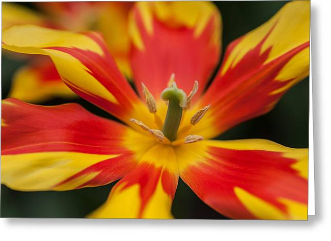 Dappled Tulip 1. The Tulips Of Holland Greeting Card by Jenny Rainbow