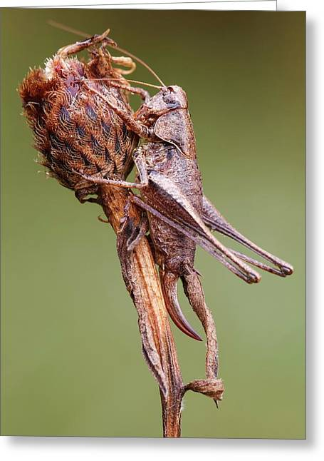 Dark Bush Cricket Greeting Card by Heath Mcdonald
