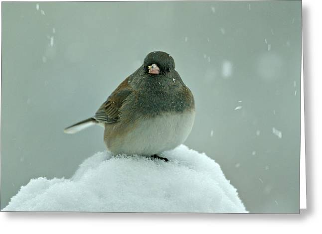 Wintry Photographs Greeting Cards - Dark-Eyed Junco in the Snow Greeting Card by Sandy Keeton