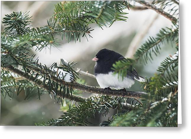 Bird On Tree Greeting Cards - Dark-eyed Junco On A Spruce Tree_ Greeting Card by Julie DeRoche