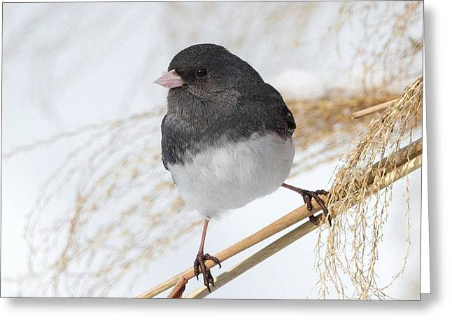 Dark Eyed Junco Square Greeting Card by Bill Wakeley