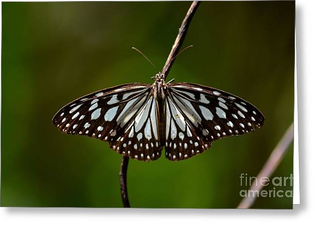 Dark Glassy Tiger Butterfly On Branch Greeting Card by Imran Ahmed