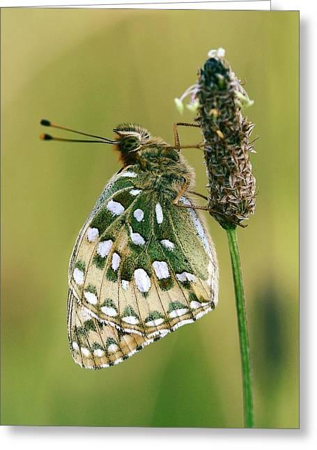 Dark Green Fritillary Butterfly Greeting Card by Colin Varndell