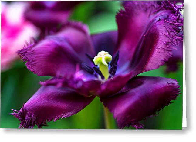 Crazing Greeting Cards - Dark Purple Parrot Tulip. The Tulips of Holland Greeting Card by Jenny Rainbow