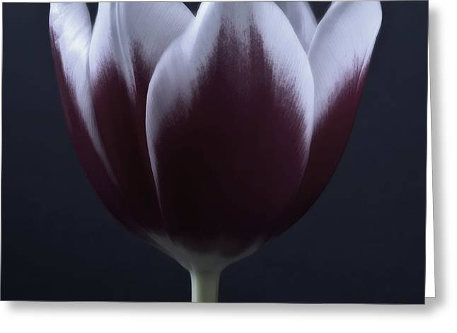 Flora Framed Prints Greeting Cards - Black And White Purple Tulips Flowers Art Work Photography Greeting Card by Artecco Fine Art Photography
