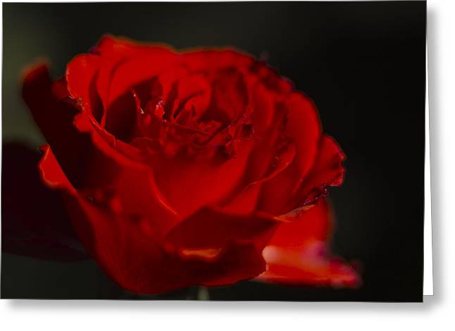 Rose Highlights Greeting Cards - Dark Red Rose Greeting Card by Todd M Bloomer