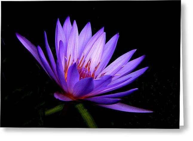 Rosalie Scanlon Greeting Cards - Dark Side of the Purple Water Lily Greeting Card by Rosalie Scanlon