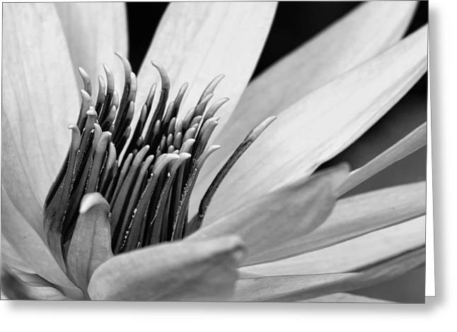 Close-up Greeting Cards - Dark Throated Beauty III Greeting Card by Dawn Currie