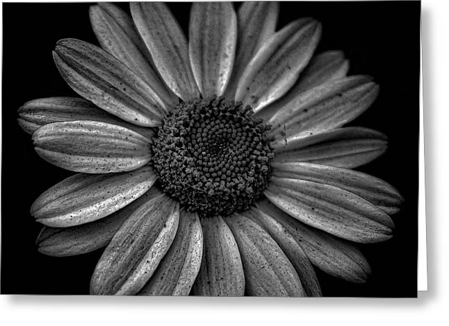 Daisy Greeting Cards - Darkened Daisy Greeting Card by Martin Newman
