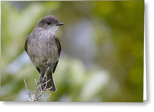 Flycatcher Greeting Cards - Darkfaced Ground Tyrant Greeting Card by Tim Grams