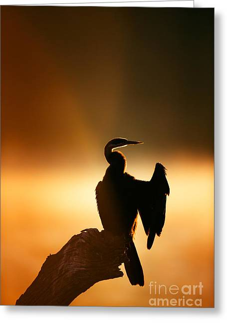 Perching Greeting Cards - Darter with misty sunrise over water Greeting Card by Johan Swanepoel