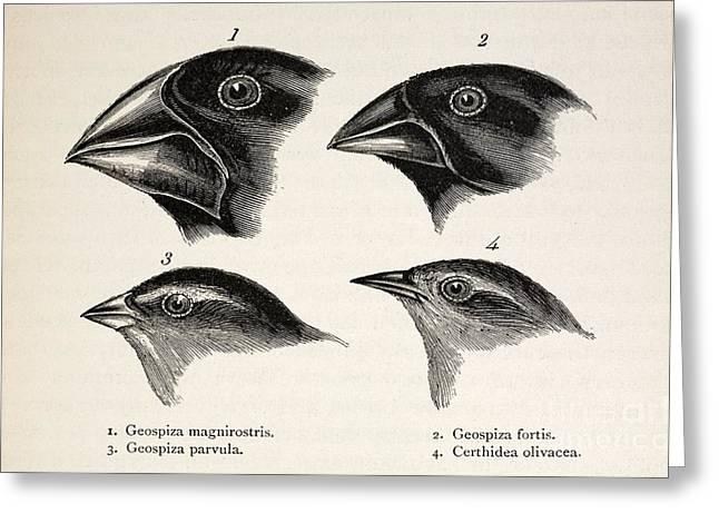 John Gould Greeting Cards - Darwins Galapagos Finches, 1845 Greeting Card by Paul D. Stewart