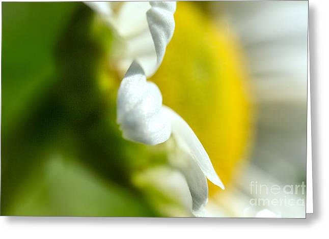 Commercial Photography Greeting Cards - Dasies  Bellis perennis Greeting Card by Iris Richardson