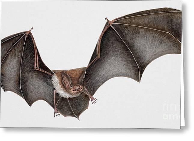 Nature Study Drawings Greeting Cards - Daubentons bat Myotis daubentonii - Murin de Daubenton-Murcielago Ribereno-Vespertilio di Daubenton Greeting Card by Urft Valley Art