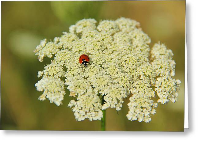 Lady Washington Greeting Cards - Daucus Carota Ladybug Greeting Card by Tristina Yarzombek
