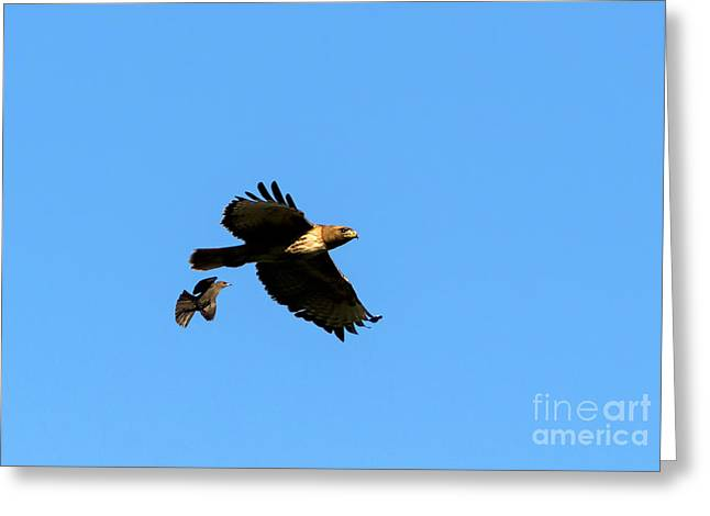 Red-tailed Hawk Greeting Cards - David and Goliath Greeting Card by Mike  Dawson
