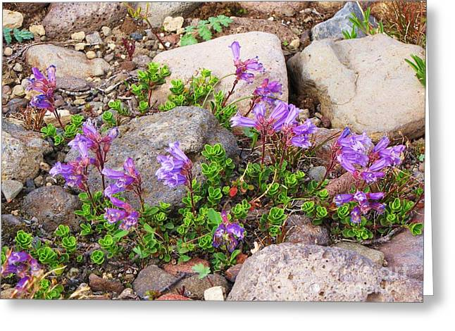 Ovates Greeting Cards - Davidsons Penstemon Greeting Card by Michele Penner