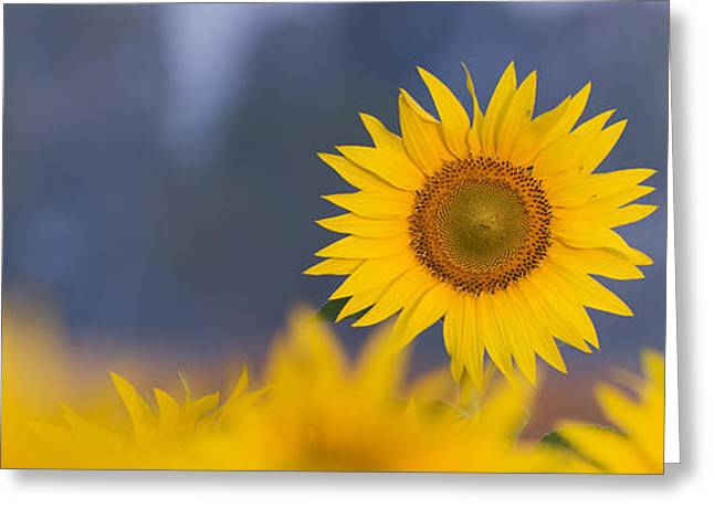 Blooms Greeting Cards - Dawn Light on Sunflower  Greeting Card by Tim Gainey