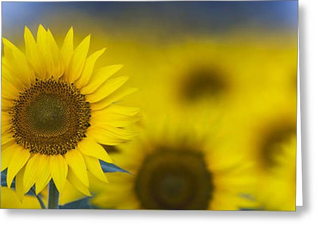 Yellow Sunflower Greeting Cards - Dawn Sunflower Panoramic Greeting Card by Tim Gainey