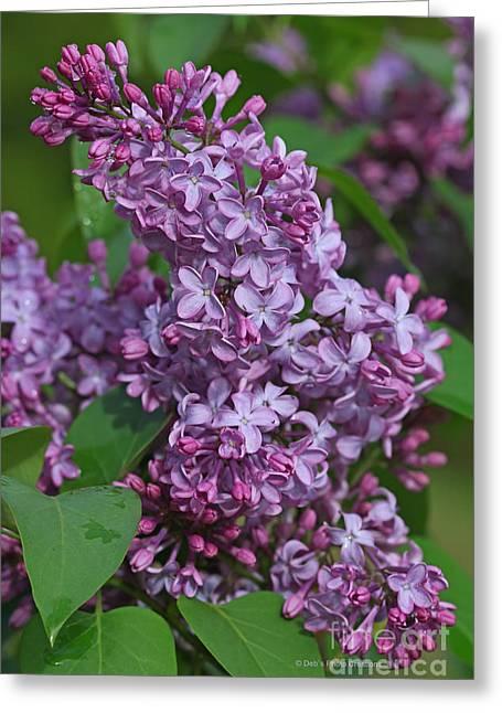 Lilac Greeting Cards - Dawns Lilacs Greeting Card by Deborah Benoit