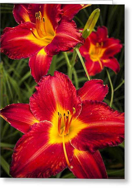 Red Tiger Greeting Cards - Day Lilies Greeting Card by Adam Romanowicz