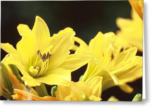 Joe Klune Greeting Cards - Day lilies Greeting Card by Joe Klune