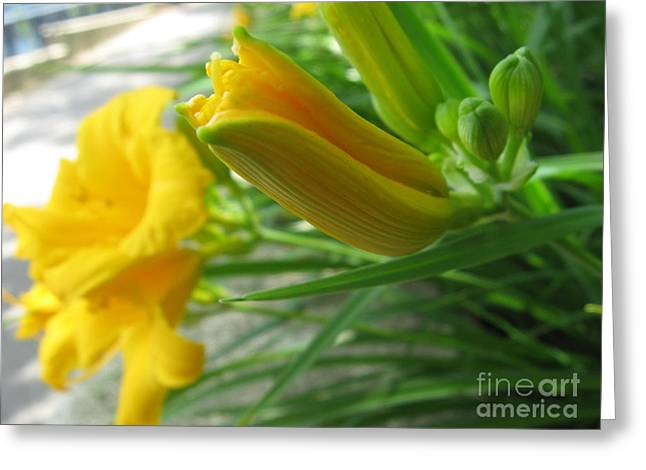 Green Day Greeting Cards - Day Lillies Greeting Card by Ray Konopaske