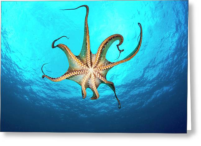 Day Octopus  Octopus Cyanea , View Greeting Card by Dave Fleetham