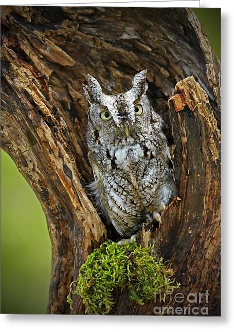 Shelley Myke Greeting Cards - Daybreak - Eastern Screech Owl Greeting Card by Inspired Nature Photography By Shelley Myke