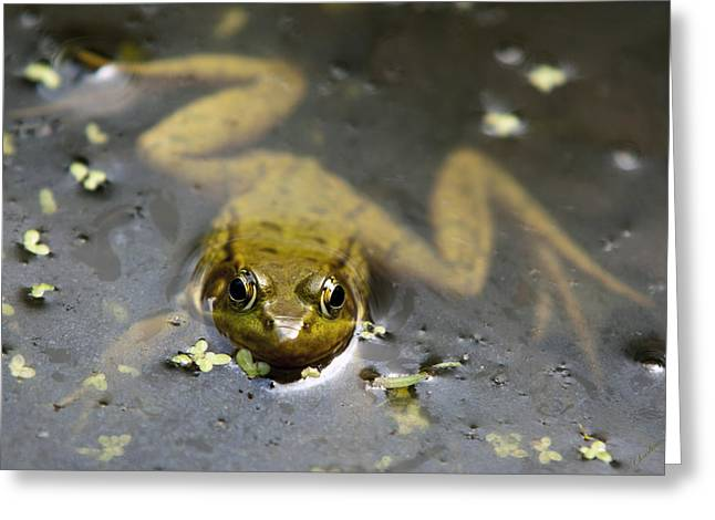Green Frog Greeting Cards - Daybreak Frog Greeting Card by Christina Rollo