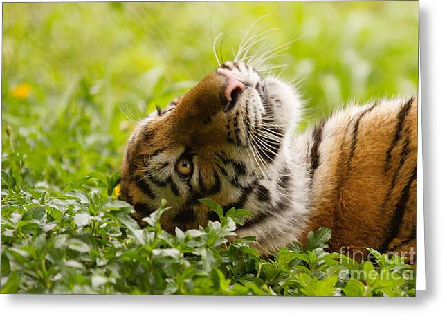 Tiger Dream Greeting Cards - Daydreamer Greeting Card by Ashley Vincent