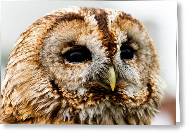 Daydreaming Owl Greeting Card by Paul O Rourke