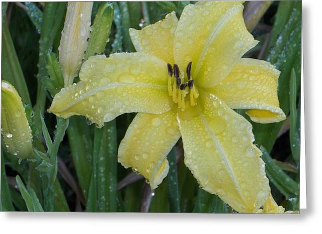 Day Lilly Greeting Cards - Daylilly Dew Greeting Card by Danny Helms