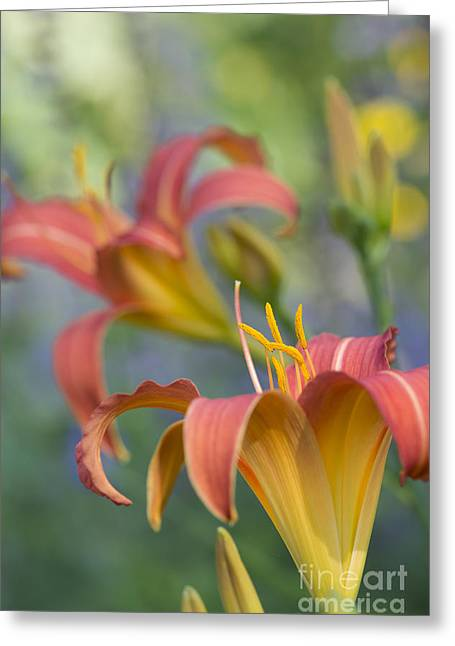 Anther Greeting Cards - Daylily Hemerocallis Pink Prelude Greeting Card by Tim Gainey