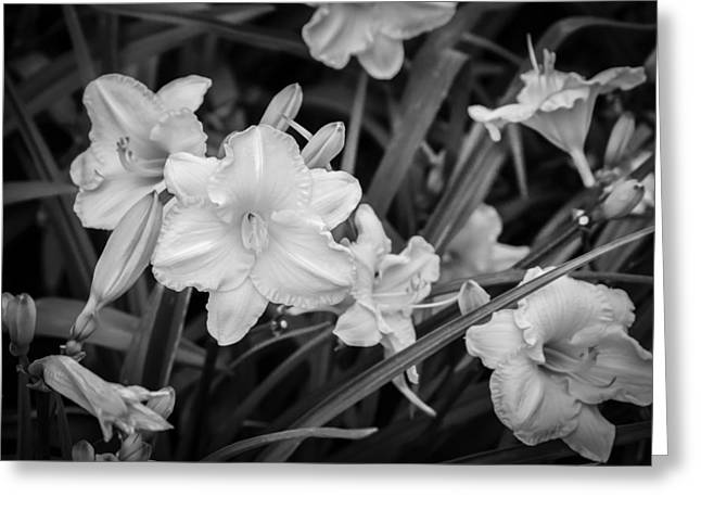 Day Lilly Greeting Cards - Daylily Hemerocallis Stella de Oro BW Greeting Card by Rich Franco