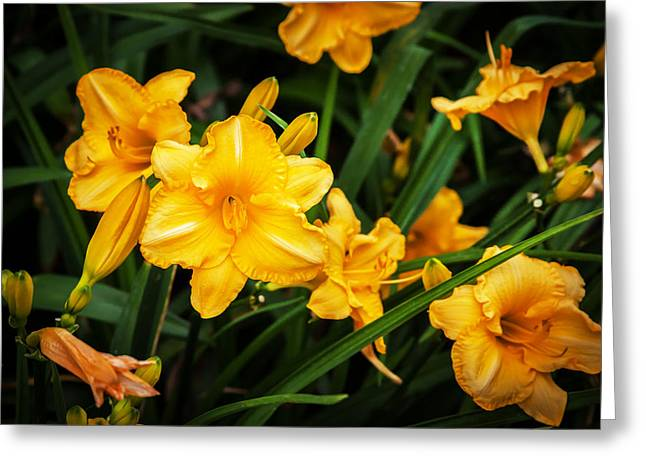Rich Colorful Flower Greeting Cards - Daylily Hemerocallis Stella de Oro  Greeting Card by Rich Franco