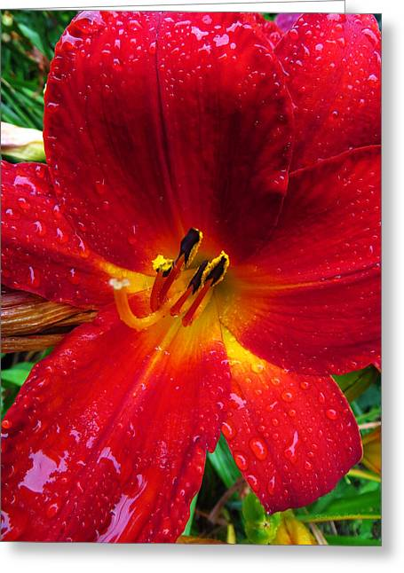 Crimson Lilies Greeting Cards - Daylily in The Rain - Fiery Red Greeting Card by Shawna  Rowe