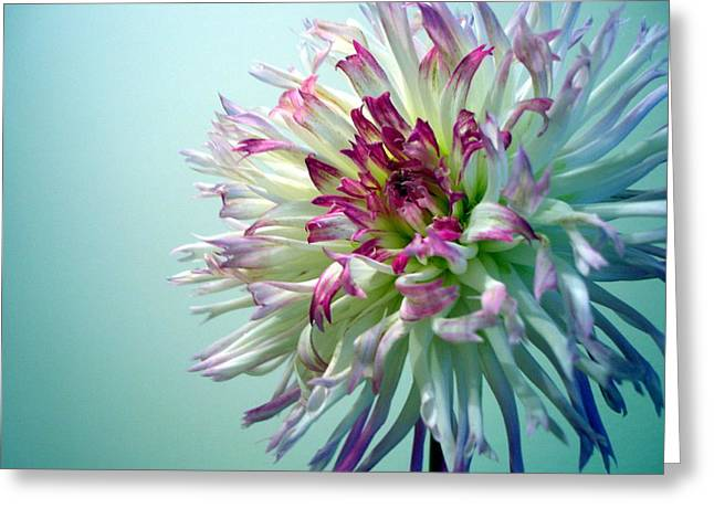 Dinner-plate Dahlia Greeting Cards - Dazzle Me Dahlia Greeting Card by Teak  Bird