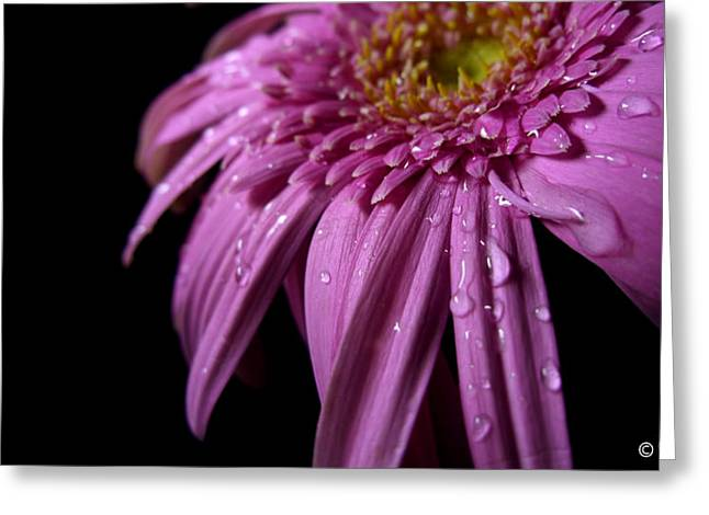 Barberton Daisy Greeting Cards - Dazzling Daisy Greeting Card by Evewin Lakra
